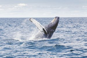 Humpback whales during the winter on Maui